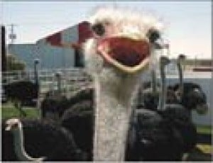 Birds of a feather will flock to ostrich fest