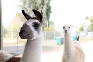 Poor economy affects llamas, too