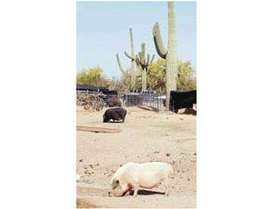 Sanctuary cares for hundreds of misfit pigs