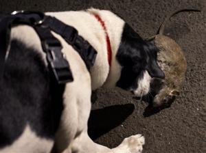 Urban Rat Hunting