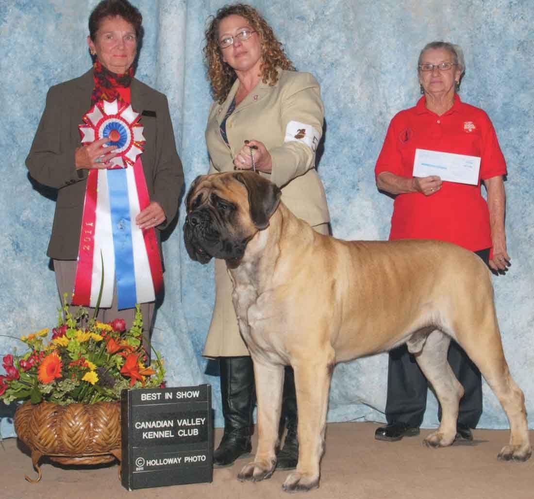 English Mastiff Westminster Dog Show