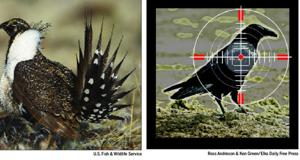 Save sage grouse, target ravens: County hopes pilot program sets precedent