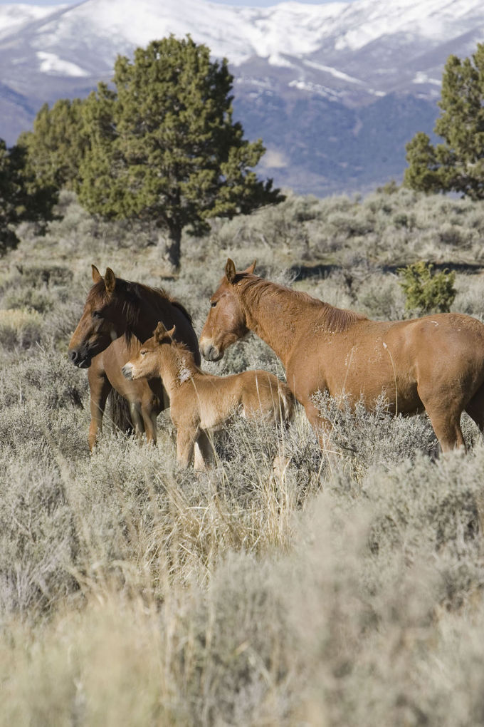 US Wildlife Agency Won't List Wild Horse as Endangered   Southern ...