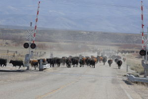 Gallery: Cattle Drive