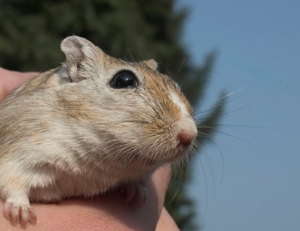 Gerbil pageant