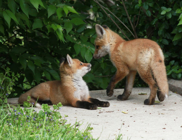 024 Fox Family on Front and Walnut.jpg