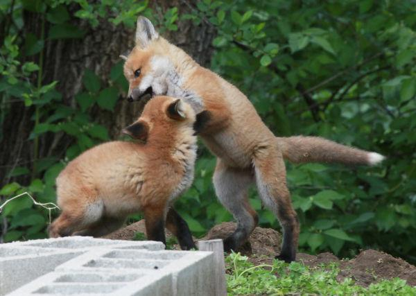 037 Fox Family on Front and Walnut.jpg
