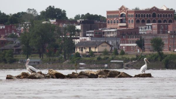 033 Pelicans on Missouri River.jpg