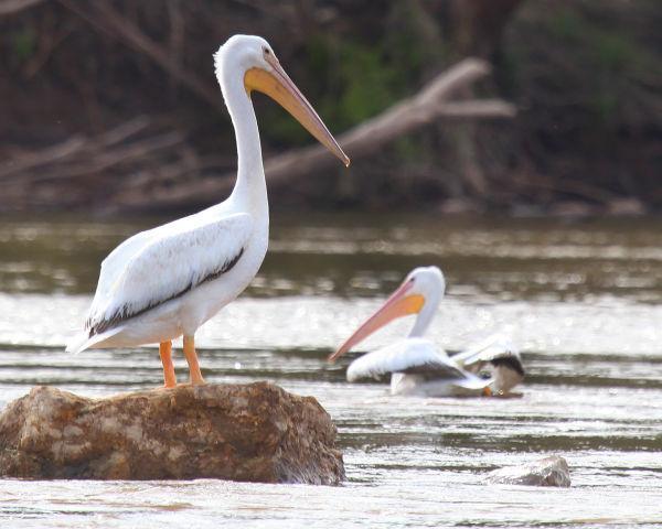 008 Pelicans on Missouri River.jpg