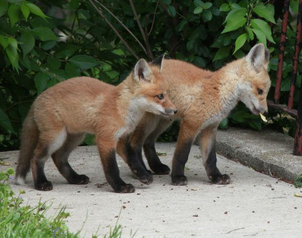 031 Fox Family on Front and Walnut.jpg
