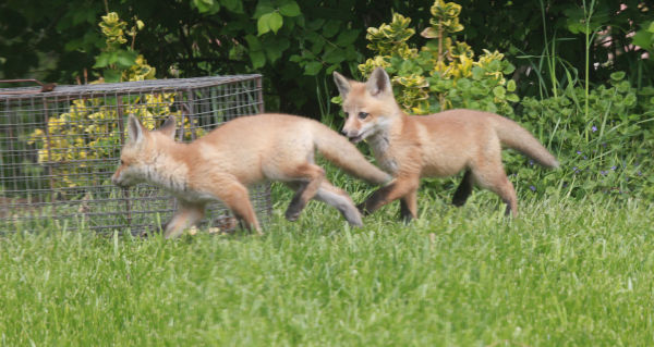 011 Fox Family on Front and Walnut.jpg