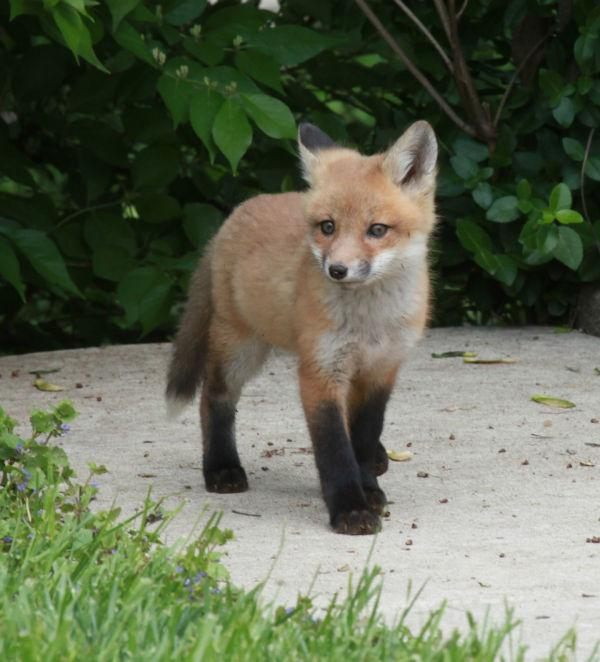 019 Fox Family on Front and Walnut.jpg