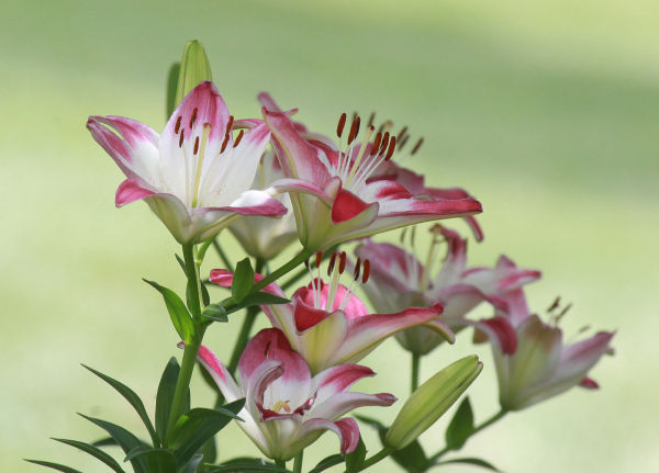 015 Early Summer Blooms 2014.jpg