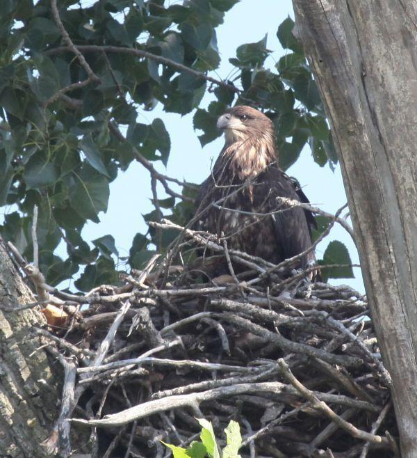 Riverfront Eagle