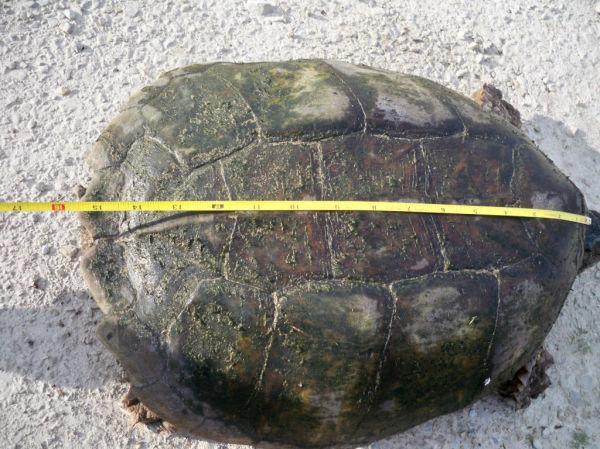 Briggs Turtle 10.JPG
