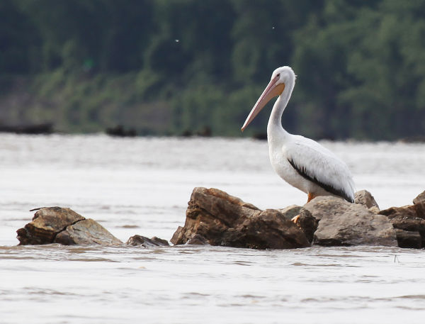007 Pelicans on Missouri River.jpg
