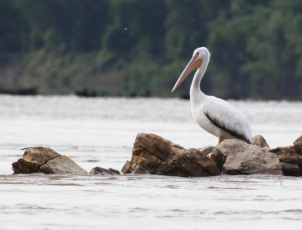 007 Pelicans on Missouri River.jpg