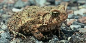 Amer Toad