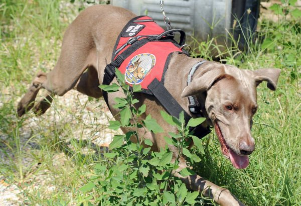 Lily the Search and Rescue Dog