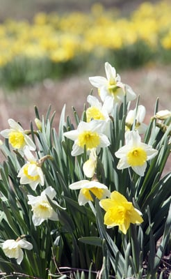 Daffodils in Bloom at Shaw Nature Reserve