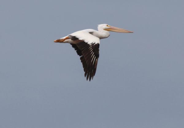 032 Pelicans on Missouri River.jpg