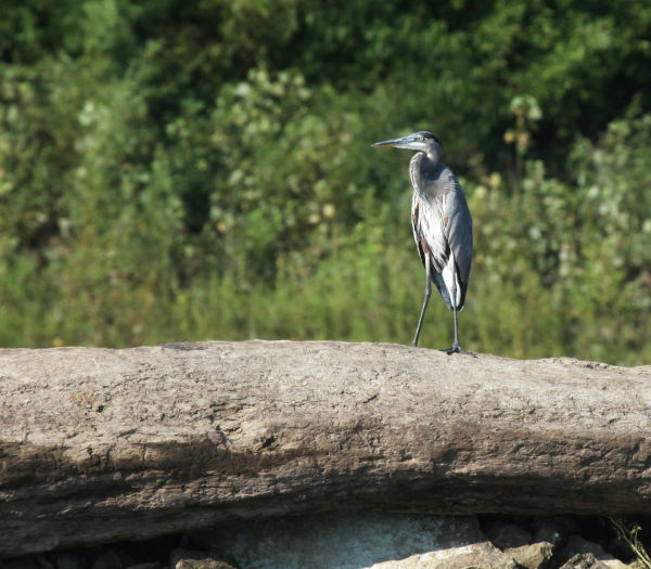 009 Scenes from the River Aug 2013.jpg