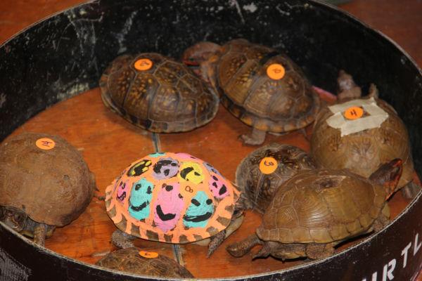 011 Turtle race 2013.jpg