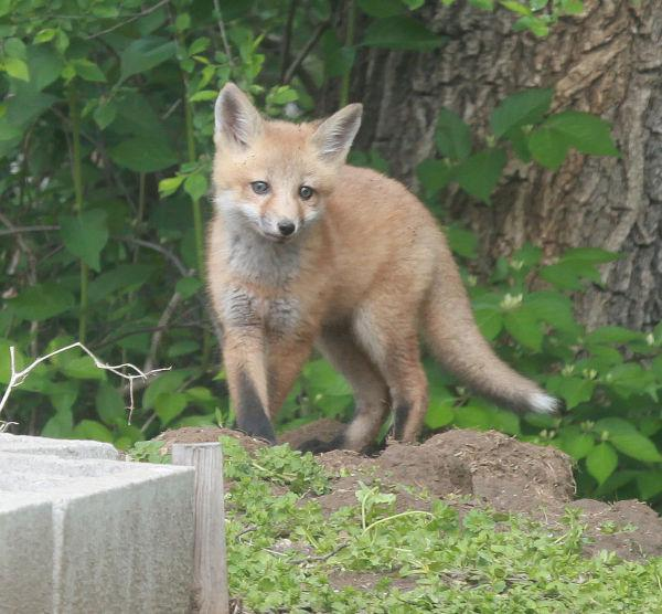 003 Fox Family on Front and Walnut.jpg