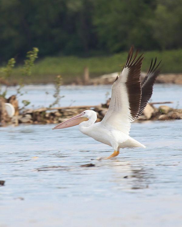 013 Pelicans on Missouri River.jpg