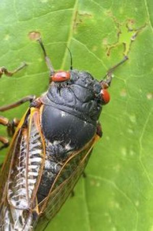 East About to Be Overrun by Billions of Cicadas