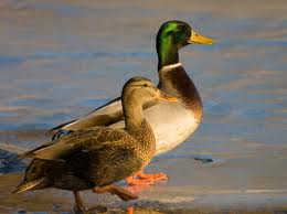Mallard numbers estimated to be 10.4 million