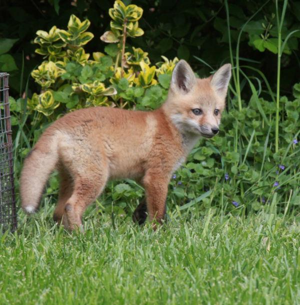 012 Fox Family on Front and Walnut.jpg