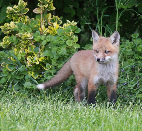 044 Fox Family on Front and Walnut.jpg