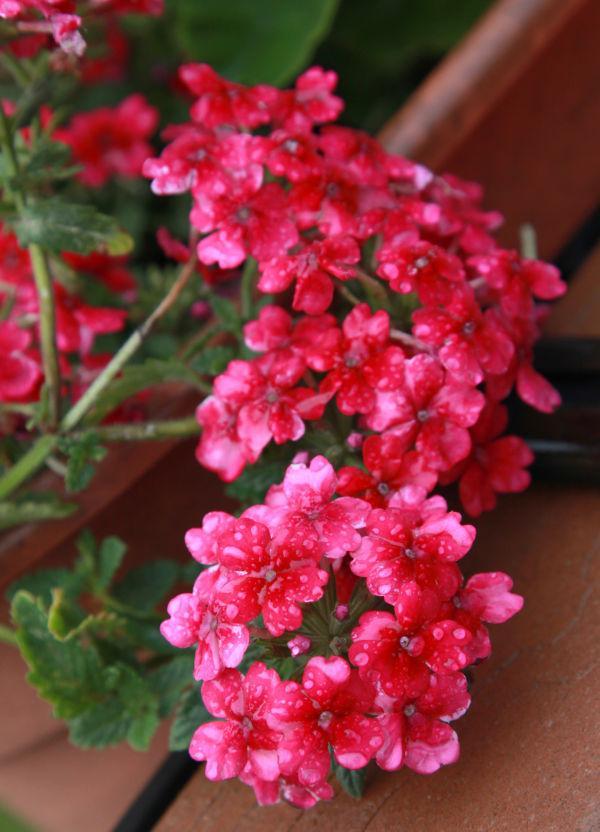 019 Early Summer Blooms 2014.jpg