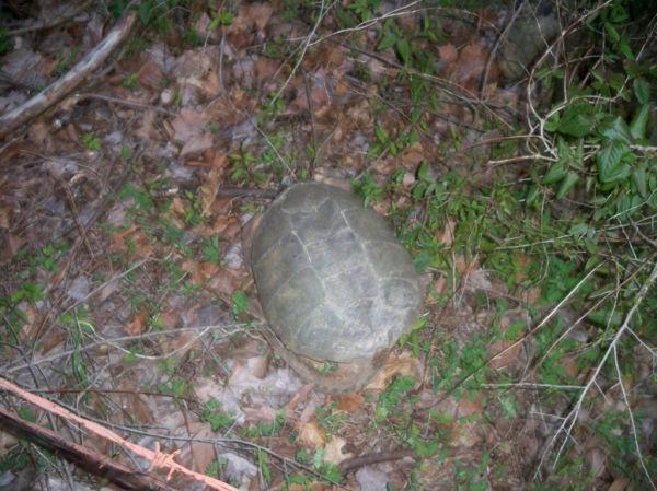 Briggs Turtle 11.JPG