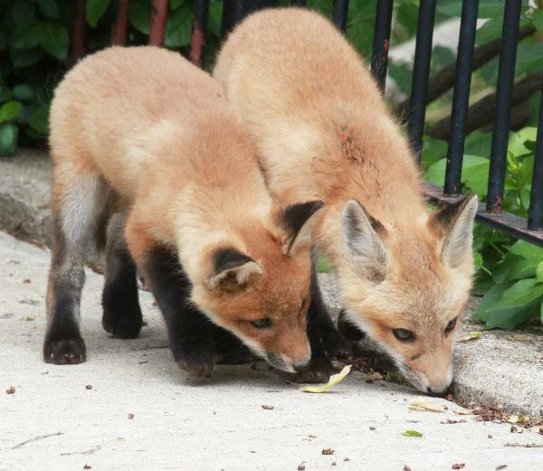 033 Fox Family on Front and Walnut.jpg