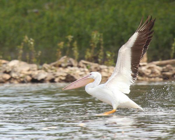 012 Pelicans on Missouri River.jpg