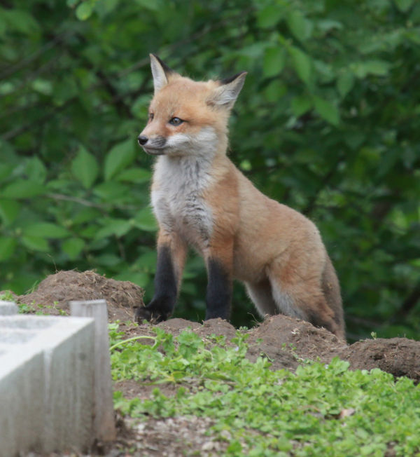 046 Fox Family on Front and Walnut.jpg