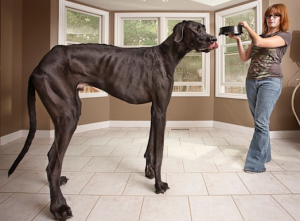 Zeus the Great Great Dane