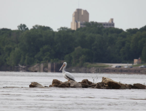 006 Pelicans on Missouri River.jpg