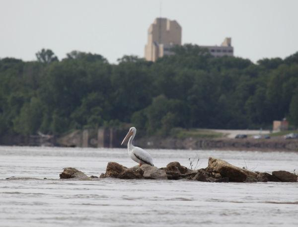 006 Pelicans on Missouri River.jpg