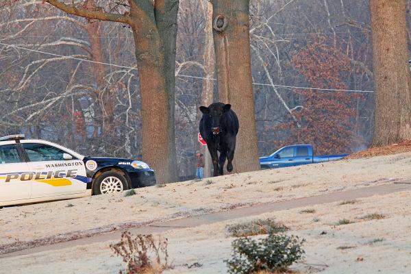Steer 11.jpg