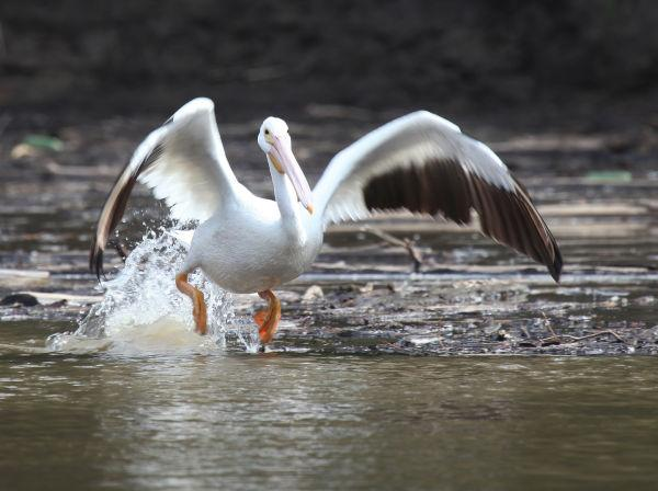 023 Pelicans on Missouri River.jpg