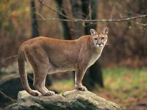 Gerald Police Report Mountain Lion Sighting