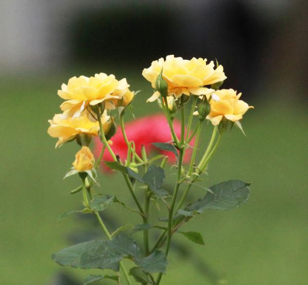 012 Early Summer Blooms 2014.jpg