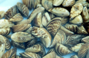 Zebra Mussels Found in Western Missouri Lake