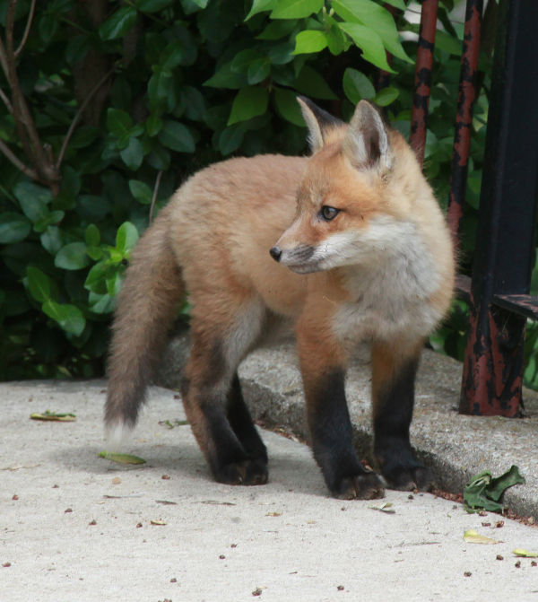 020 Fox Family on Front and Walnut.jpg