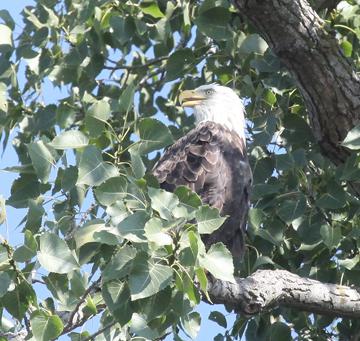 Missouri River Eagle