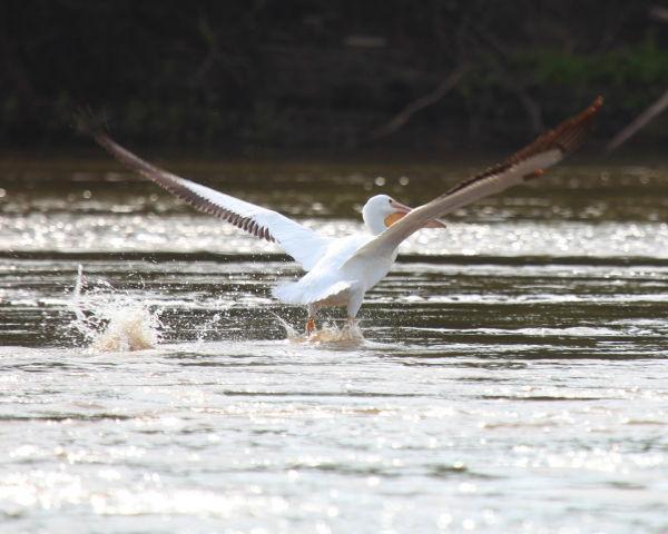 011 Pelicans on Missouri River.jpg