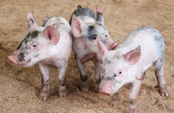 002 Pig Chase 2013.jpg